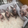 Grey Sphynx Kittens - Male And Female