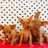 Russian mini toy terrier puppies